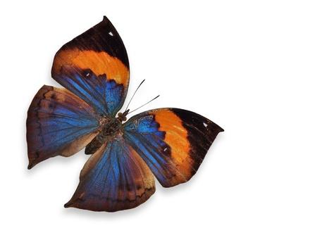 metamorphosis: orange butterfly flying (Orange Oakleaf) isolated on white background