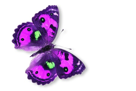 Purple Butterfly Isolated on white. photo