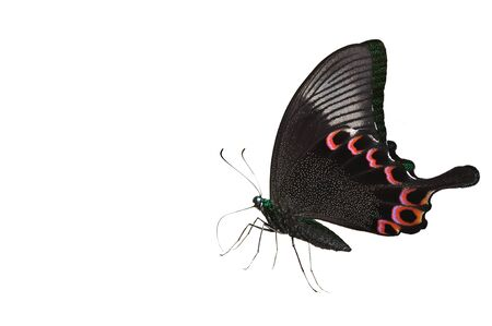 Green and Black Butterfly Isolated on white. photo