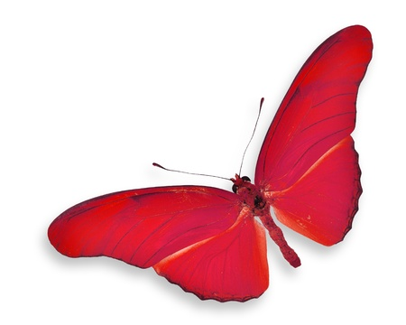 Red butterfly flying isolated on white photo