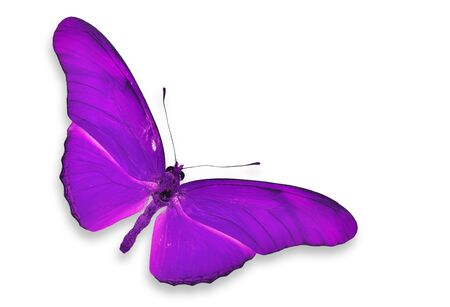 purple butterfly: Purple Butterfly flying isolated Stock Photo