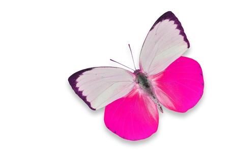 pink butterfly: Pink and white butterfly isolated on white background