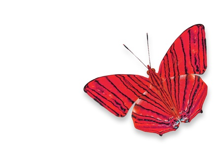 A red butterfly isolated on white Stock Photo - 14650902