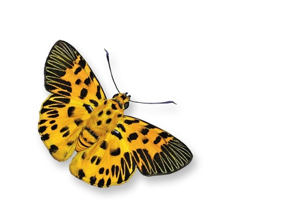 Yellow Butterfly flying photo