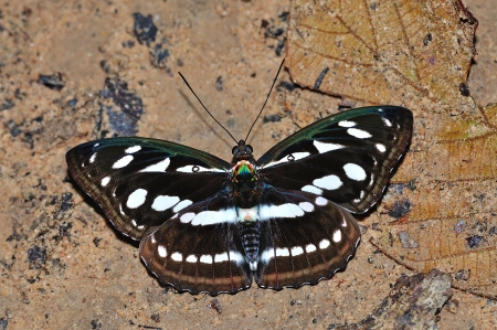 sergeant: Black and white butterfly  Great Sergeant , same face giant