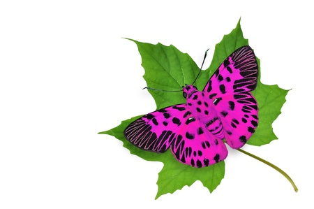 pink butterfly: Pink butterfly on green leaf isolated on white background