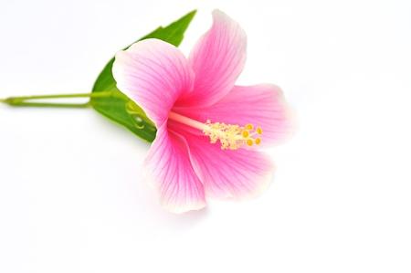 Macro of China Rose flower on white background photo