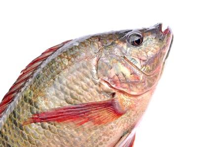 erythrophthalmus: Fishes isolated on white background  Stock Photo