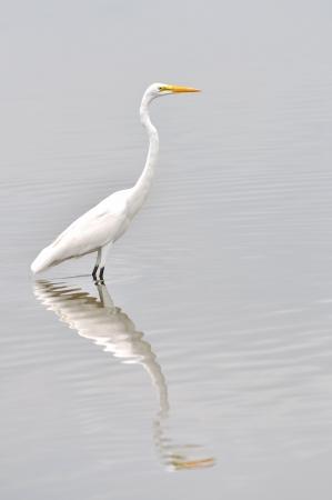 Great white egret, egretta alba, fishing in a lake photo