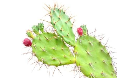 Opuntia cactus isolated on white background