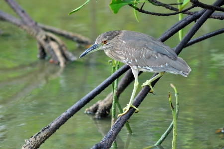 a black crowned night heron perched above duckweed covered water  photo