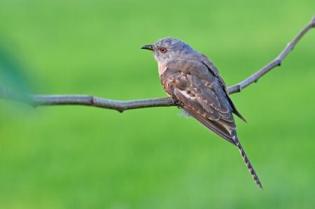 plaintive: Plaintive Cuckoo bird siiting on branch whit green background. Stock Photo