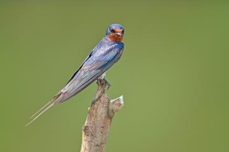 Barn Swallow bird on nature photo
