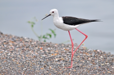 black winged stilt: Black winged stilt, Bird nature
