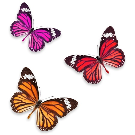 Orange pink and Red butterflies isolated on white with soft shadow beneath each  photo