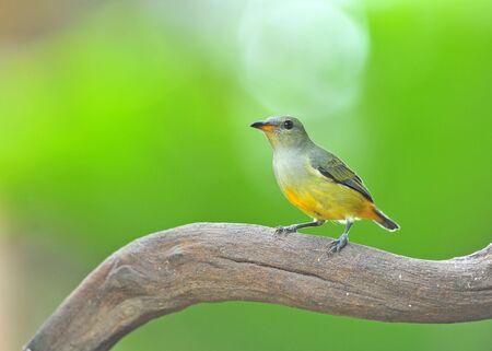 aves: colorful bird (Orange-bellied Flowerpecker) on nature Stock Photo