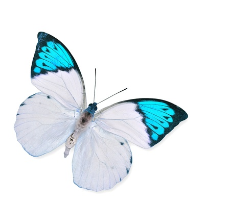 white butterfly: Blue and White Butterfly flying