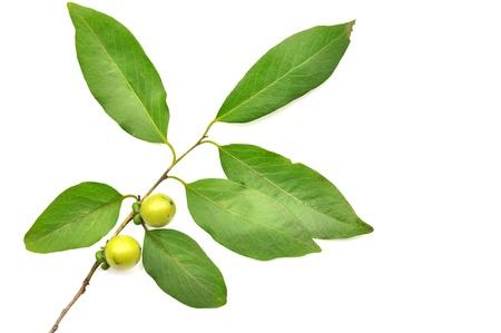 ebony tree: ebony fruit and leaf isolated on white background