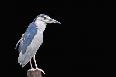 kona: Black-crowned Night-Heron (Nycticorax nycticorax hoactli) ,Bird on black background