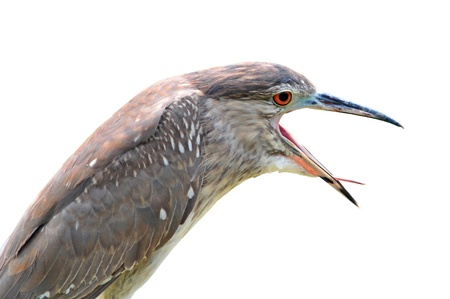 Young Bird open mount (Black-crowned Night-Heron) on white background photo