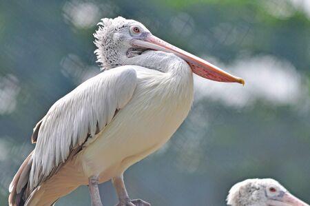 pelikan: closeup Spotted-billed Pelecan Bird
