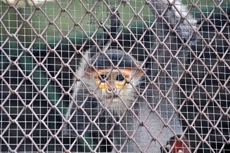 Red-shanked Douc (Pygathrix nemaeus) in the cage, The five color of Douc Langur, Dusky Leaf Monkey photo