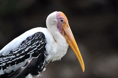 Closeup of painted stork bird Stock Photo - 15047225