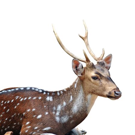 axis deer: Chital, Cheetal, Spotted deer, Axis deer in zoo, clipping path on white background