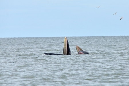 Balaenoptera brydei, Brydes Whale on the sea of Thailand photo