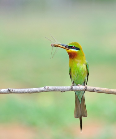 Green bird  Blue tailed Bee eater  eating dragonfly  photo