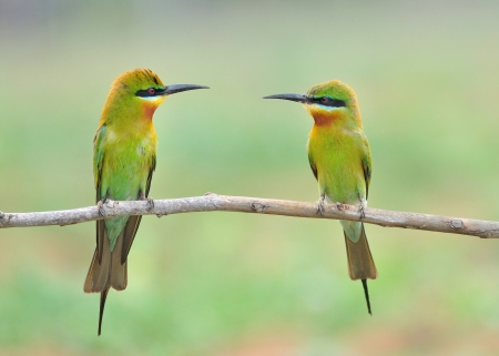 Green bird  Blue tailed Bee eater  bird feeding  photo