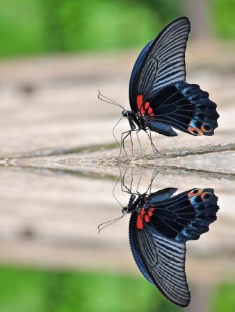 mormon: Black and Red Butterfly (Great Mormon) on nature