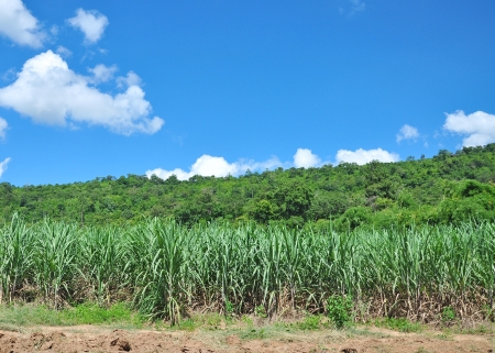 Sugarcane in Thailand photo