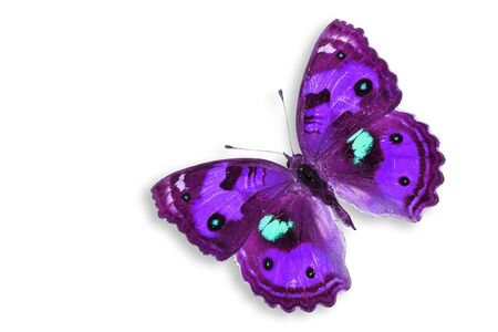 purple butterfly: Purple Butterfly Isolated on white  Stock Photo