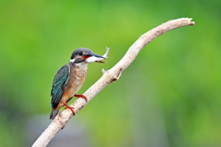 Kingfisher  Alcedo atthis  photo