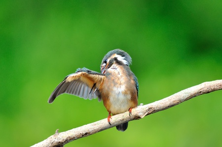 Kingfisher  Alcedo atthis  Stock Photo - 15524556
