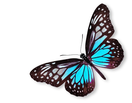white butterfly: Blue Butterfly flying isolated on white