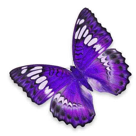 Purple Butterfly flying isolated on white background photo