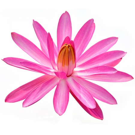 A pink lotus flower isolated on a white background.  Stock Photo - 15551190