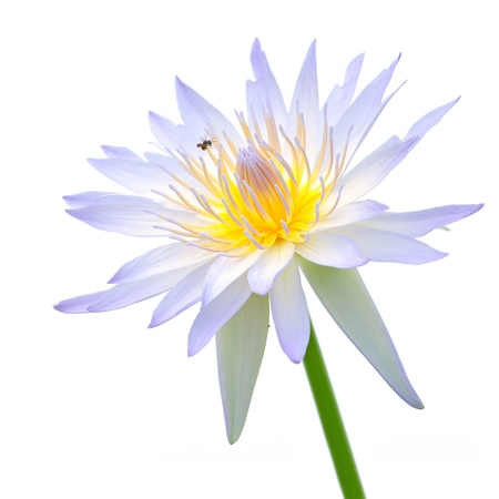 A purple and white lotus flower isolated on a white background. Stock Photo - 15551186