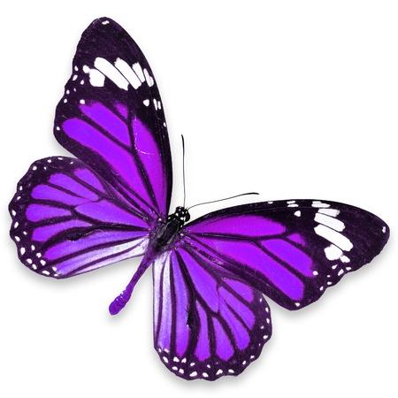 mariposas volando: Purple Butterfly vuelo aislado sobre fondo blanco