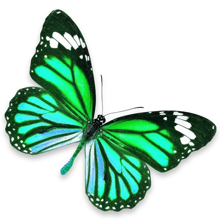 Green Butterfly flying isolated on white background photo
