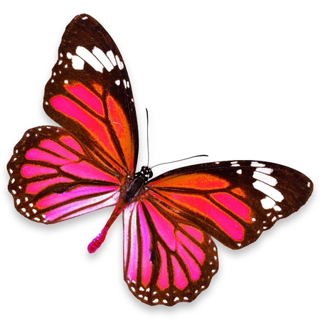 Pink Butterfly flying isolated on white background photo