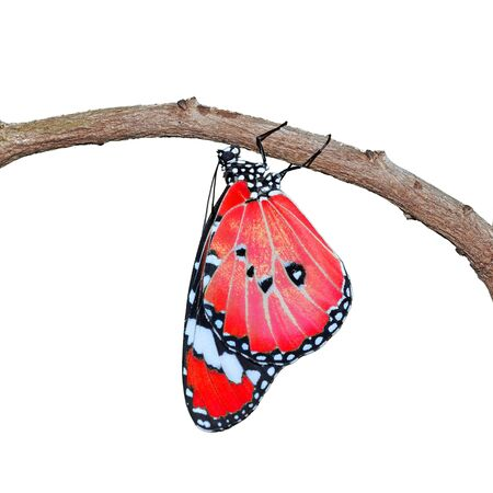 Red Butterfly isolated on white background photo