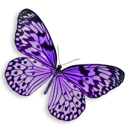 morado: Purple Butterfly vuelo aislado en el fondo blanco.