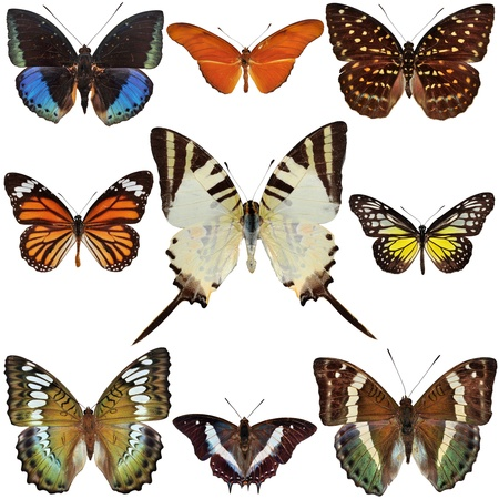 Butterfly Collection isolated on white Stock Photo - 15695194