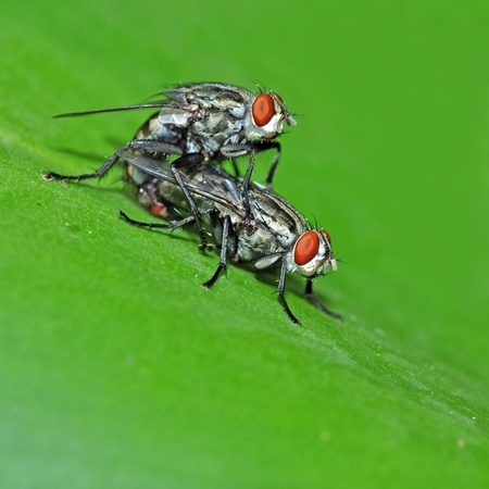 Fly Mating photo