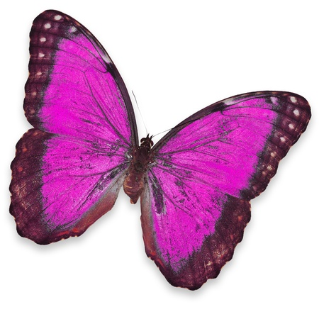 colorful butterfly: Pink butterfly isolated on white background