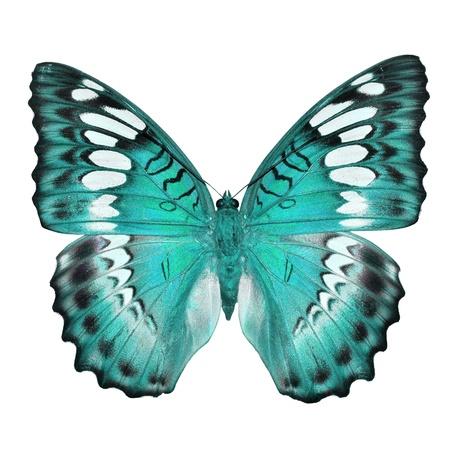 mariposa azul: Mariposa azul aislado sobre fondo blanco