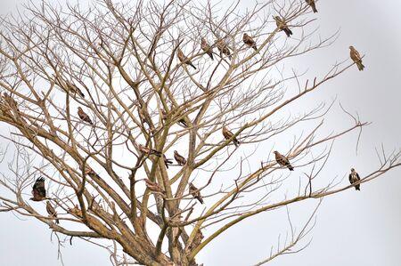milvus: Group of Black Kite Bird on Dead tree Stock Photo